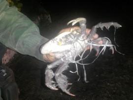 caranguej 270x202 - Polícia resgata mais de 1.500 caranguejos-uça capturados irregularmente