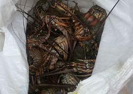 26.01.15 pm apreende caranguejos lagostas 2 270x192 - Polícia apreende mais de 800 caranguejos-uçá e 25 kg de lagosta