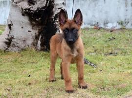 Fêmea 01 Foto Wagner Varela 270x202 - Polícia Militar lança campanha para escolher os nomes dos novos cães do canil do BOPE