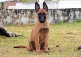 Macho 02 Foto Wagner Varela 1 270x191 - Mais de 80 mil pessoas já votaram na escolha do nome dos novos cães do Canil da Polícia Militar