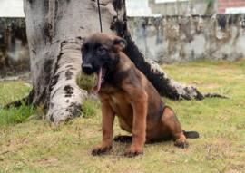 TANTOR 270x191 - Polícia divulga nomes escolhidos para os cães do Canil do Bope
