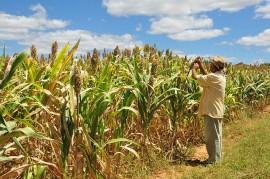 plantação sorgo emepa 270x179 - Governo entrega sementes de sorgo aos agricultores do Semiárido