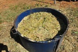 sorgo ração animal 270x179 - Governo entrega sementes de sorgo aos agricultores do Semiárido