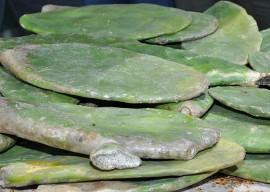 23.02.15 criadores caturite palma 1 270x192 - Governo distribui raquetes de palma forrageira