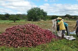 Bata doce Conceição  270x179 - Produtores de batata doce do Vale do Piancó visitam Agrocentro de Patos