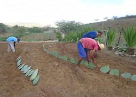 palma1umbuzeiro 270x193 - Governo do Estado capacita criadores e distribui raquetes de palma forrageira no Cariri