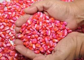 semente milho foto joao francisco 7 270x202 270x192 - Governo distribui 760 toneladas de sementes certificadas para agricultores familiares