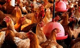 13.06.14 galinhas MONTEIRO AVICULTURA foto jose marques 1 2 270x162 - Criação de aves financiada pelo governo garante renda para famílias no Cariri paraibano