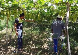 producao uva sertao emater 1 270x191 - Governo estimula produção de uva no Sertão como alternativa de renda