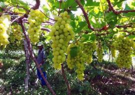 producao uva sertao emater 2 270x191 - Governo estimula produção de uva no Sertão como alternativa de renda