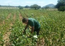 Emater testa algodao herbaceo no sertao foto assessoria da emater 2 270x191 - Paraíba testa produção de algodão herbáceo orgânico no Sertão