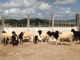 Ovinos Emepa 02 06 270x202 - Pesquisa paraibana aponta melhorias na produção de carnes de caprinos e ovinos no Semiárido