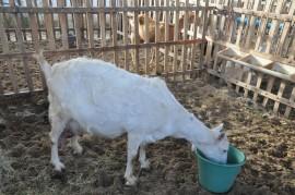 caprinos coxixola 270x179 - Governo do Estado apoia realização da Festa da Cabra de Leite em Coxixola