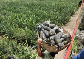 emater cultivo de abacaxi suconor em SAPE 1 270x191 - Governo incentiva cultivo da cultura de abacaxi na Paraíba