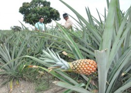 emater cultivo de abacaxi suconor em SAPE 3 270x191 - Governo incentiva cultivo da cultura de abacaxi na Paraíba