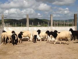 Ovinos Emepa 02 06 270x205 - Governo do Estado realiza leilão de caprinos em Soledade neste sábado