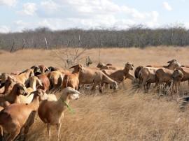 ovinos 21 07 270x202 - Governo do Estado realiza leilão de caprinos em Soledade neste sábado