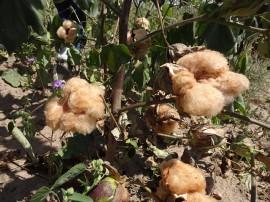 8 algodão3 21 08 270x202 - Governo realiza Dia de Campo para estimular produção de algodão colorido