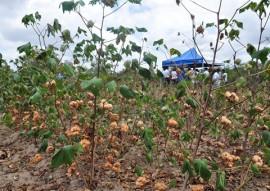 Emater dia do campo sobre algodao colorido em salgado de sao felix 3 270x191 - Governo mostra vantagens de plantar algodão colorido durante dia de campo