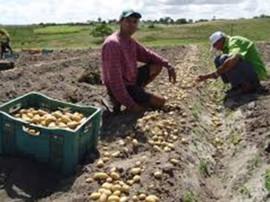 batatinha 270x202 - Governo do Estado incentiva produção de batatinha na Paraíba