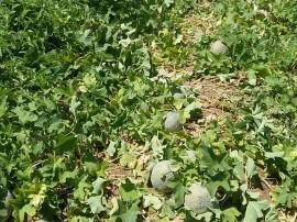 Melão 2 270x202 - Cultivo de hortaliças incentiva agricultura familiar em Nazarezinho