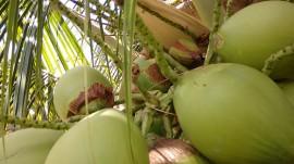 20160112055604 2 coco sousa 270x151 - Combate agroecológico às pragas que ameaçam coqueirais obtém resultados positivos em Sousa