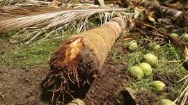 20160112055604 3coco sousa 270x151 - Combate agroecológico às pragas que ameaçam coqueirais obtém resultados positivos em Sousa