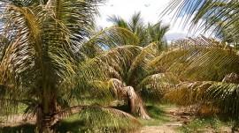 20160112055604coco sousa 270x151 - Combate agroecológico às pragas que ameaçam coqueirais obtém resultados positivos em Sousa