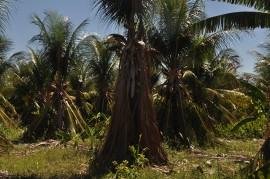 DSC 0446 coco sousa 270x179 - Combate agroecológico às pragas que ameaçam coqueirais obtém resultados positivos em Sousa