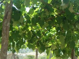 Uva Emepa 11 01 2016 1 270x202 - Emepa pesquisa sobre cultivo de uva na Região de Campina Grande