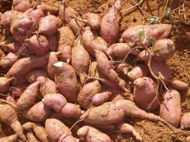 batata 3 p 270x202 - Agricultores paraibanos aumentam renda com cultivo de batata-doce no Vale do Piancó