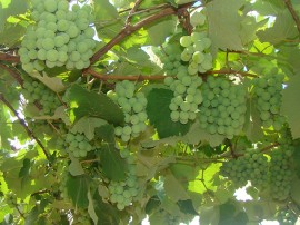 uva emepa3 11 01 2016 270x202 - Emepa pesquisa sobre cultivo de uva na Região de Campina Grande