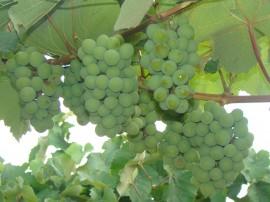 uvas4 emape 11 01 2016 270x202 - Emepa pesquisa sobre cultivo de uva na Região de Campina Grande