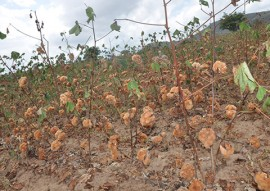 emater pb governo distribui sementes do algodao organico 1 270x191 - Governo do Estado começa distribuição de sementes de algodão orgânico na região do Curimataú