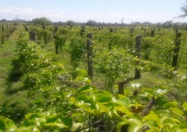 maracuja 5 270x192 - Governo do Estado incentiva substituição de plantio de coco por maracujá em Sousa