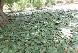 emater criadores plantam palma na falta de racao  1 270x183 - Criadores paraibanos cultivam palma forrageira para enfrentar período de estiagem