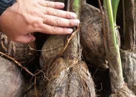 muda de coco 270x192 - Governo do Estado distribui mudas frutíferas com agricultores do Ecoprodutivo