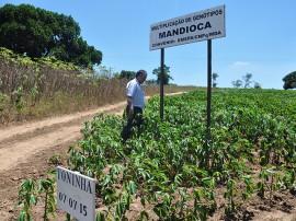 semente maniva emepa2 portal 270x202 - Governo produz sementes de mandioca e macaxeira para atender agricultor familiar