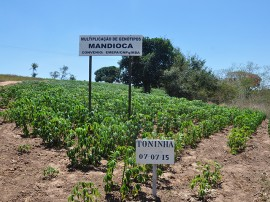 semente maniva emepa portal 270x202 - Governo produz sementes de mandioca e macaxeira para atender agricultor familiar