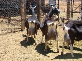 emepa caprinos 19 07 270x202 - Emepa realiza inseminação em 600 cabras leiteiras no Cariri