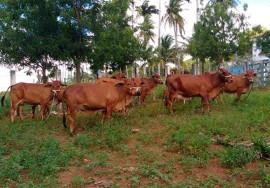 gado sindi emepa2 12 07 270x188 - Paraíba recebe animais da raça zebuína para estação de Alagoinha