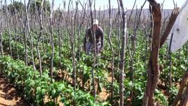 hortaliças00 30 08 270x152 - Governo incentiva agricultura familiar em Vieirópolis