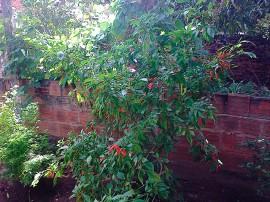 pimenta alagoa grande2 16 08 2016 270x202 - Cultivo de pimenta surge como alternativa econômica para agricultor familiar