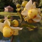 flor imbiriba