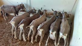 Coxixola 270x151 - Criadores de Coxixola realizam exposição e feira de caprinos
