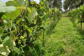 DSC 0953 270x179 - Emepa faz pesquisa sobre uva Isabel Precoce para plantio na Zona da Mata paraibana