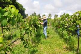 DSC 0965 270x179 - Emepa faz pesquisa sobre uva Isabel Precoce para plantio na Zona da Mata paraibana