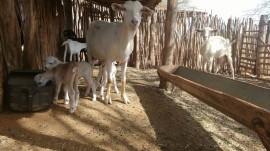 caprino emepa 270x151 - Nascem os primeiros caprinos do novo programa de inseminação artificial da Emepa