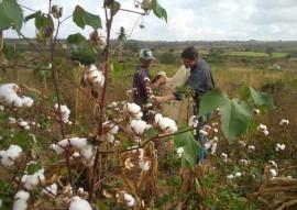 emater producao e preco do algodao organico da safra 2016 e 2017 no estado 3 270x191 - Governo discute preço do algodão orgânico para safra agrícola 2016/2017