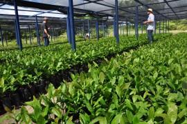 CAJU 270x179 - Governo inicia programa de revitalização do caju com entrega de mudas em Bernardino Batista